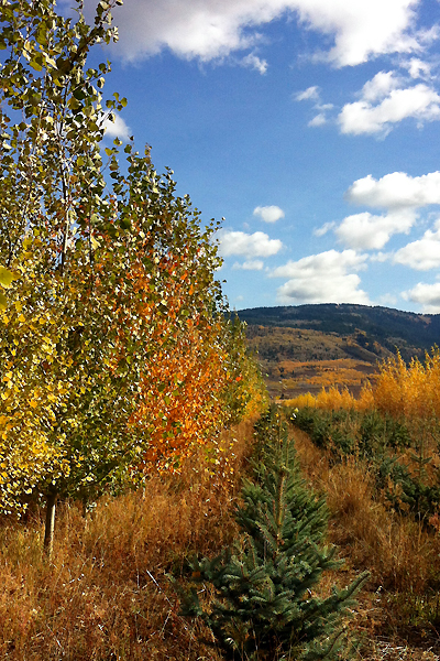 Aspen and conifer trees